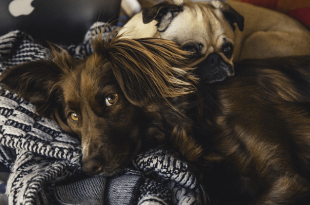 dogs laying on blankets