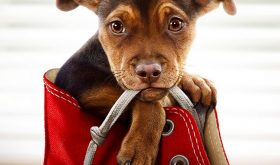 A Dog's Way Home Comes to Theaters Today – Enter To Win Movie Swag