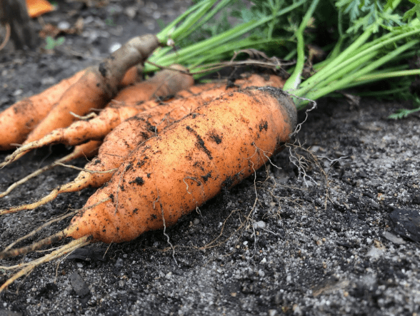 organic carrots pulled out of the ground