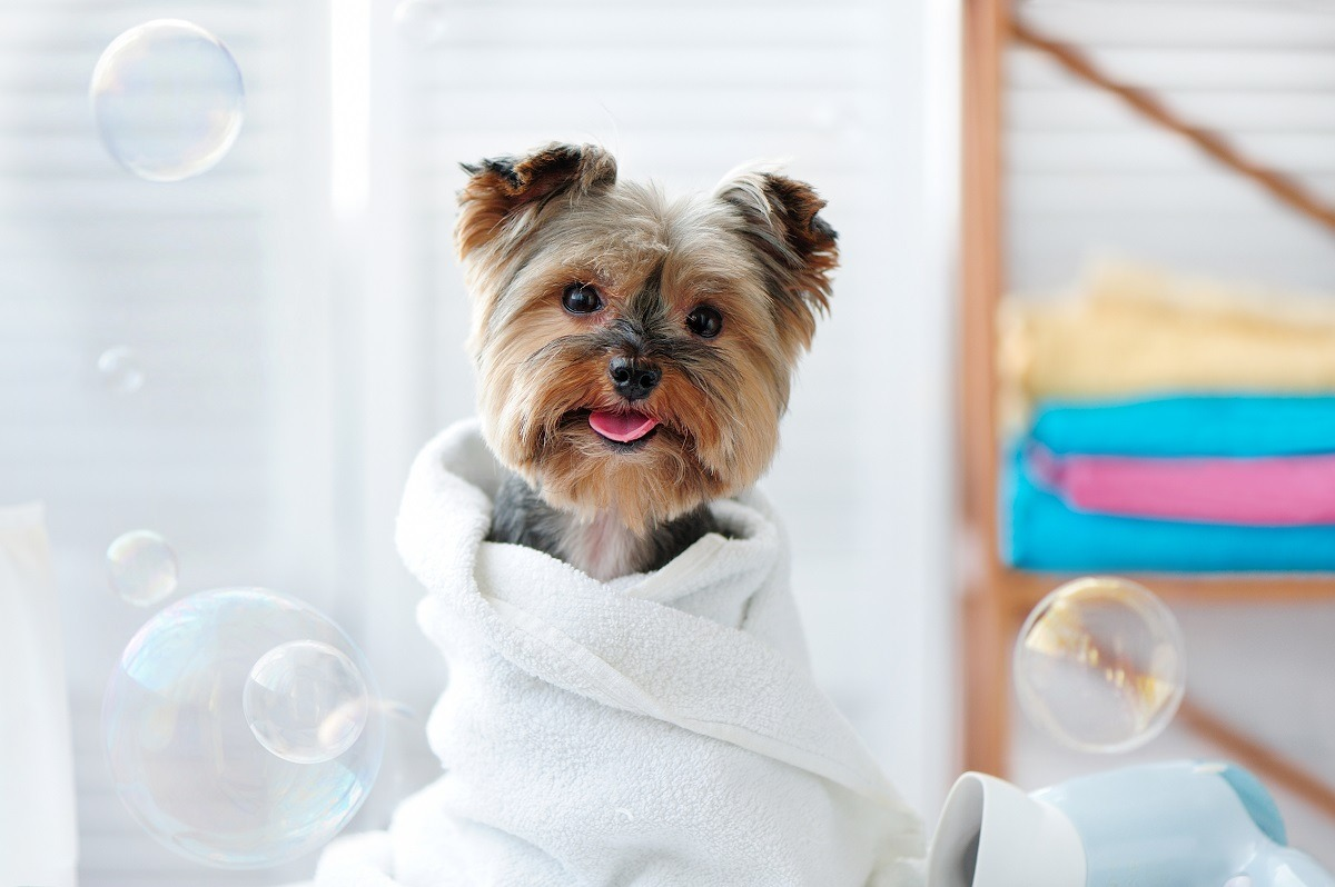 quite dog wearing white towel